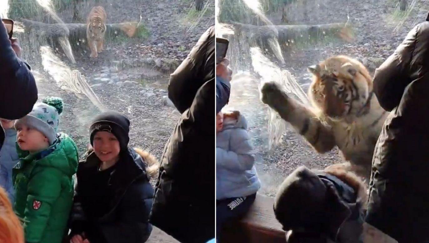 Tygrys rzucał się na szklaną taflę oddzielającą go od zwiedzających (fot. tt/@pmmartialarts)