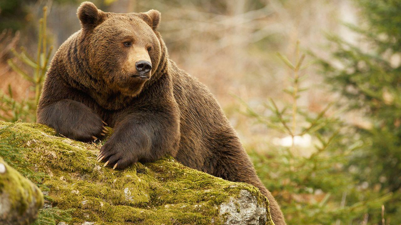 Do ataku niedźwiedzia doszło w sobotę w okolicy Komańczy (zdjęcie ilustracyjne, fot. Shutterstock/Canon Boy)