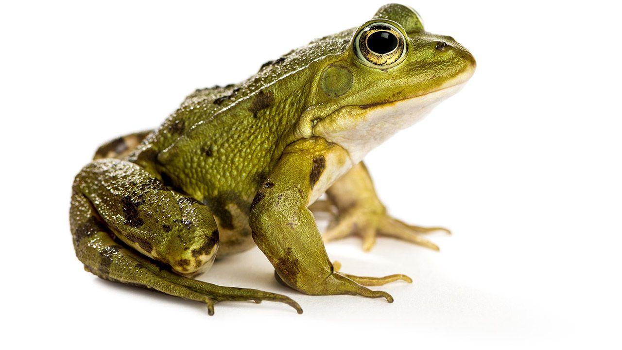 Kości żaby świecą na niebiesko. Szykuje się na gody czy odstrasza wrogów? -  tvp.info