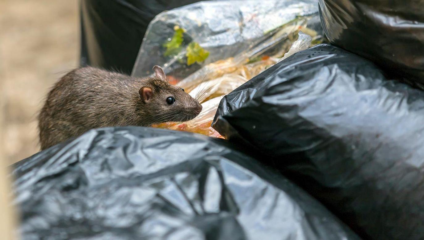 Szczury w Dublinie wchodzą do mieszkań i grasują w śmieciach (fot. Shutterstock/Chanawat Phadwichit)