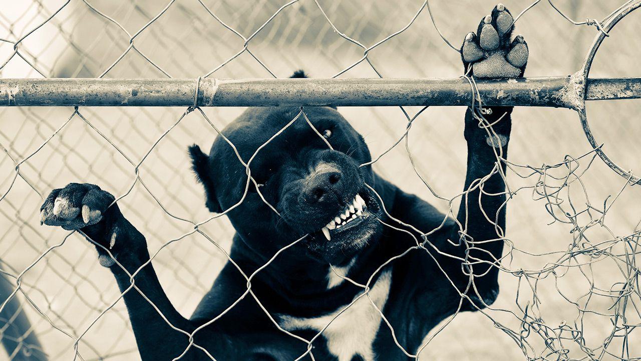 Pitbulle zagryzły dziecko właścicieli (fot. Shutterstock)