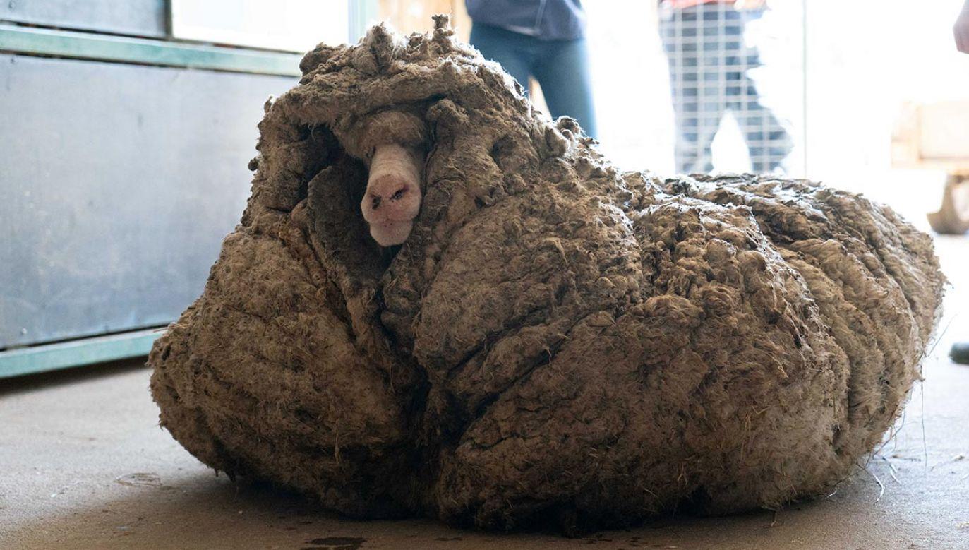 Runo owcy ważyło 35 kg (fot. Edgar's Mission Inc/Handout via REUTERS)