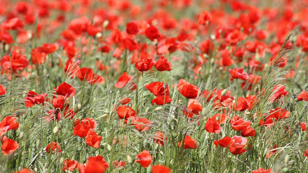 Pieśń powstała podczas słynnej bitwy o Monte Cassino (fot. pixabay.com/BNPT)