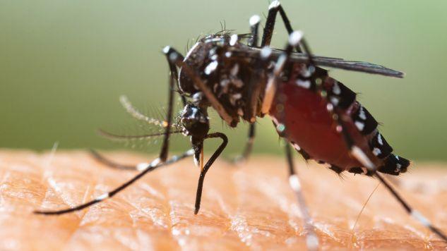 Azjatycki komar tygrysi jest nosicielem różnych tropikalnych chorób wirusowych (fot. Shutterstock/frank60)