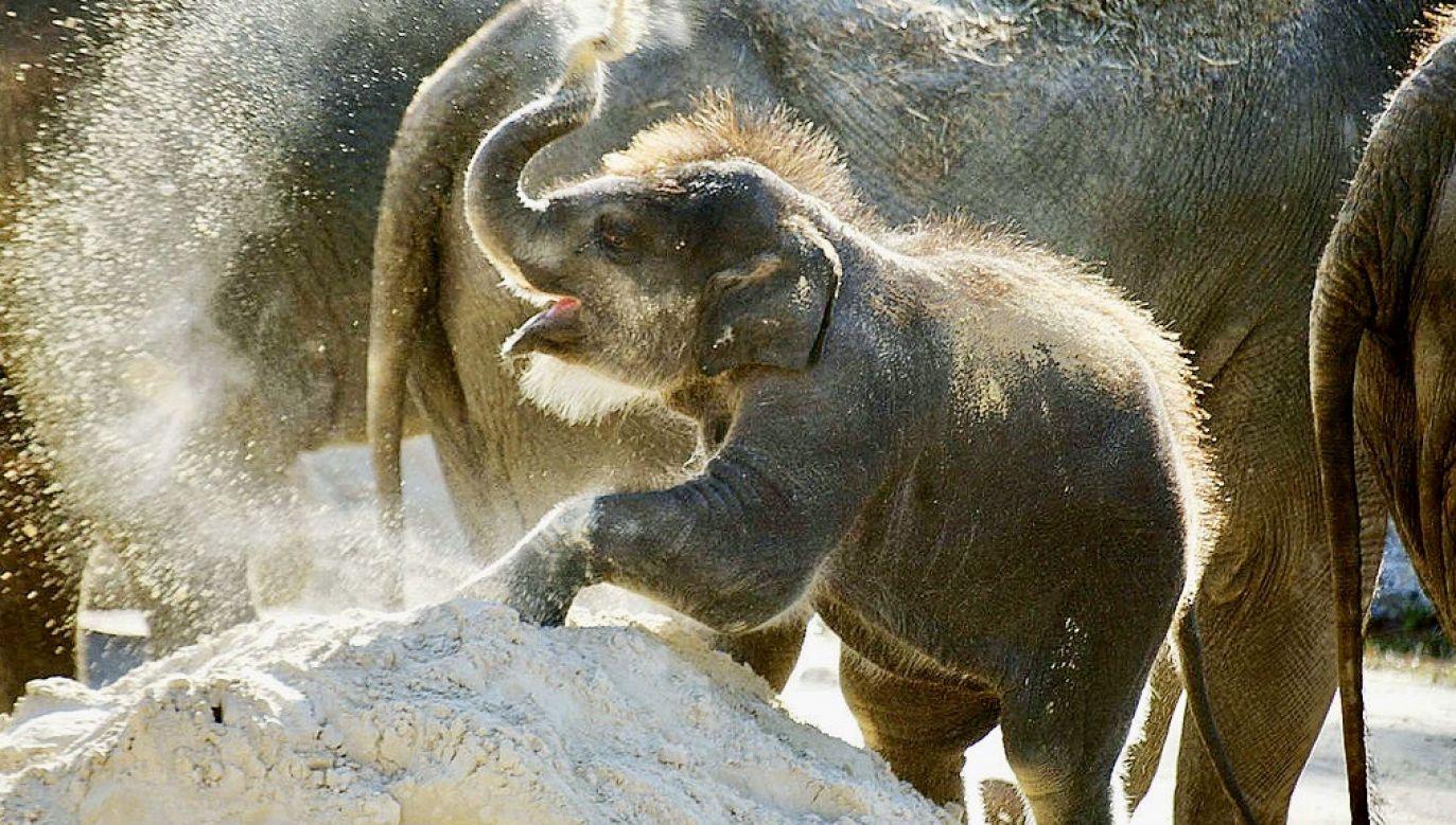 Jeszcze nie wiadomo jakiej płci jest słoniątko (fot. Mark Wilson/Getty Images)