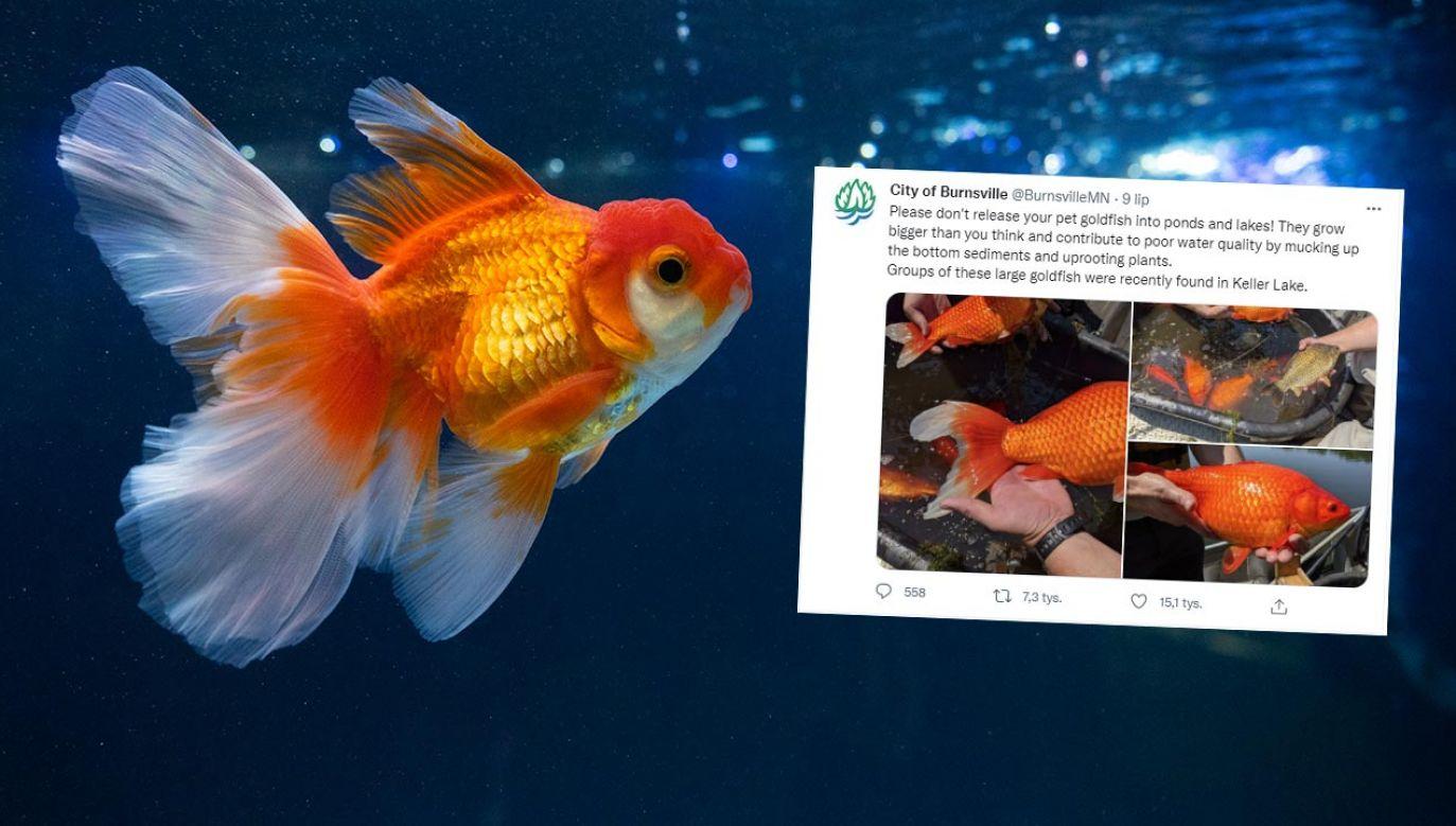 Gigantyczne złote rybki sieją spustoszenie w amerykańskich jeziorach (fot. Shutterstock/VixtorPhoto)
