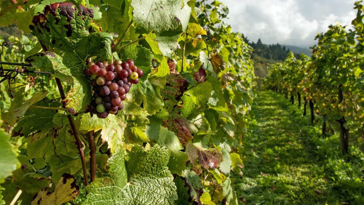 Winiarstwo w Polsce staje się coraz popularniejszym zajęciem (fot. Pxhere)