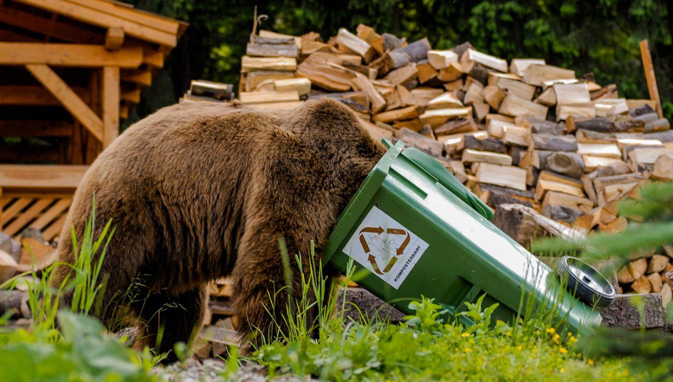 Niedźwiedź nie mógł się wydostać z kontenera na śmieci (fot. shutterstock/Tomas Hulik ARTpoint)