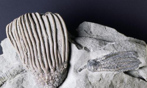 Skamieniałości Dizygocrinus indianaensis i Scytalocrinus disparilis, Crinoidea, karbon. Fot. DeAgostini / Getty Images