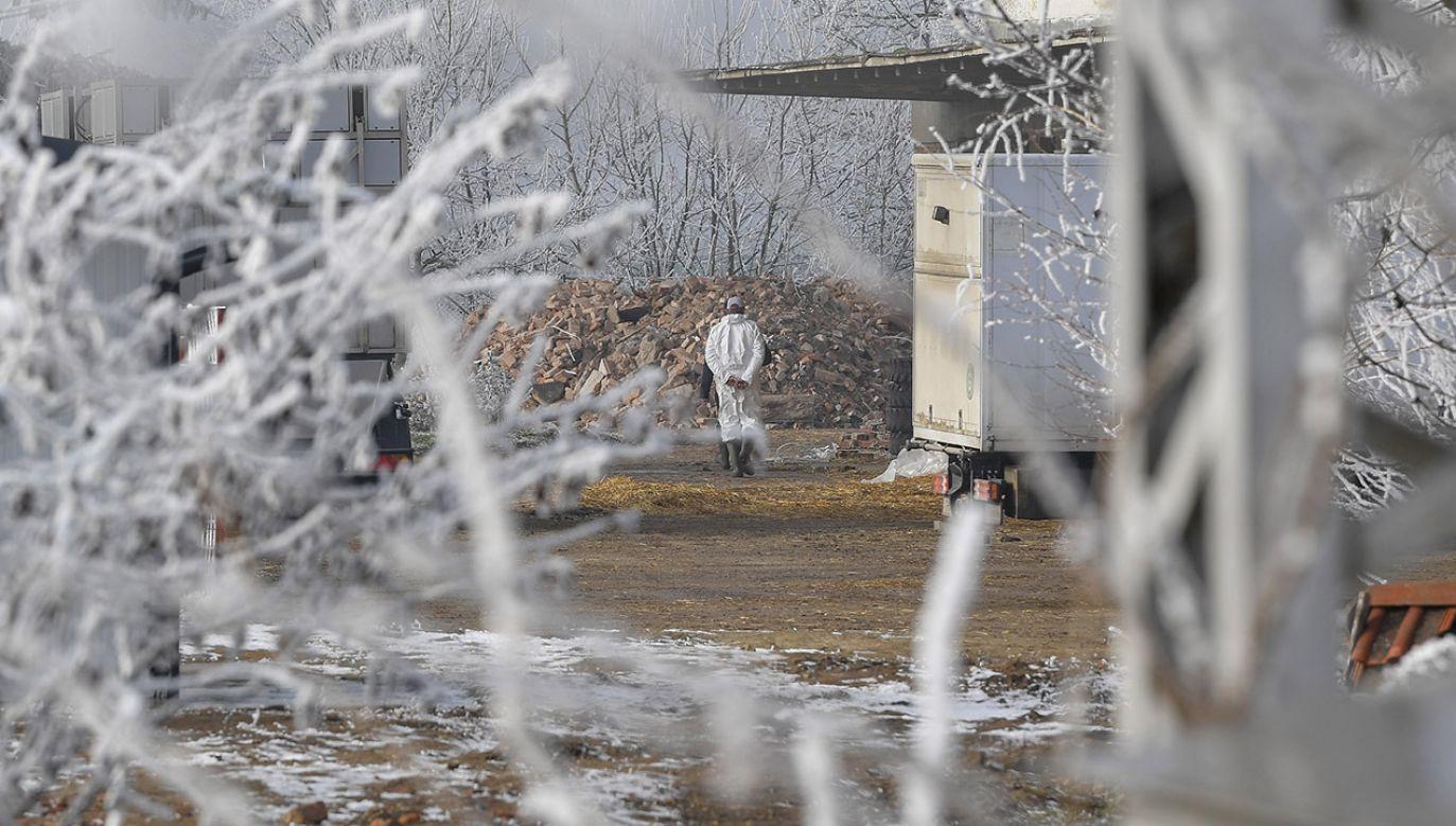 Na Ukrainie padło z powodu wirusa blisko 5 tys. sztuk drobiu (fot. PAP/EPA/ZSOLT CZEGLEDI)