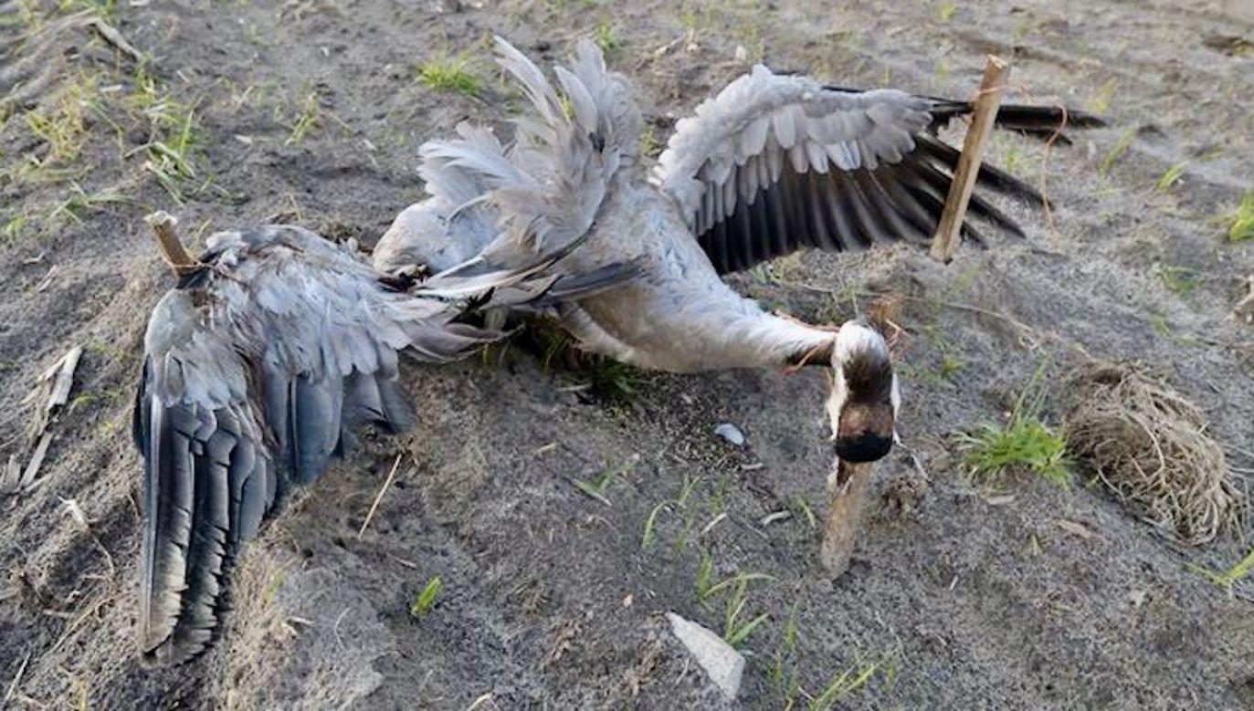 Takich przypadków jest więcej (fot. Komitet Ochrony Orłów)
