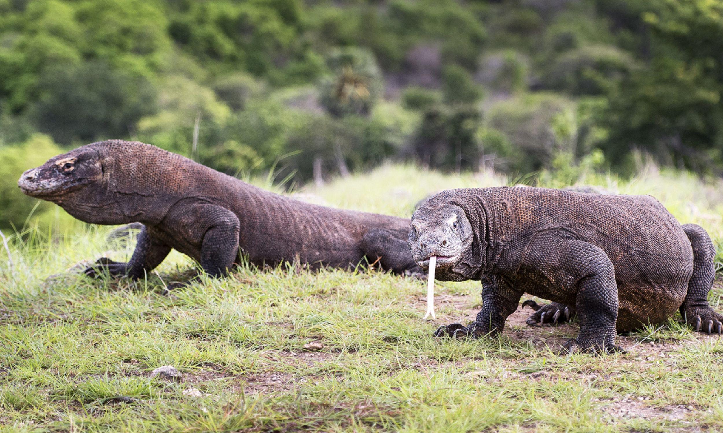 Smok z Komodo jest jednym z najbardziej przerażających zwierząt na Ziemi. Ta największa na świecie jaszczurka jest wszystkożerna. Ma ostre pazury, potężne nogi i tajną broń – toksyczną ślinę. Zawiera ono około 50 szczepów bakterii, ugryzienie smoka jest więc śmiertelne – zabija jego ofiarę w ciągu 24 godzin. Fot. Yulia Sundukova / Barcroft Image / Barcroft Media via Getty Images