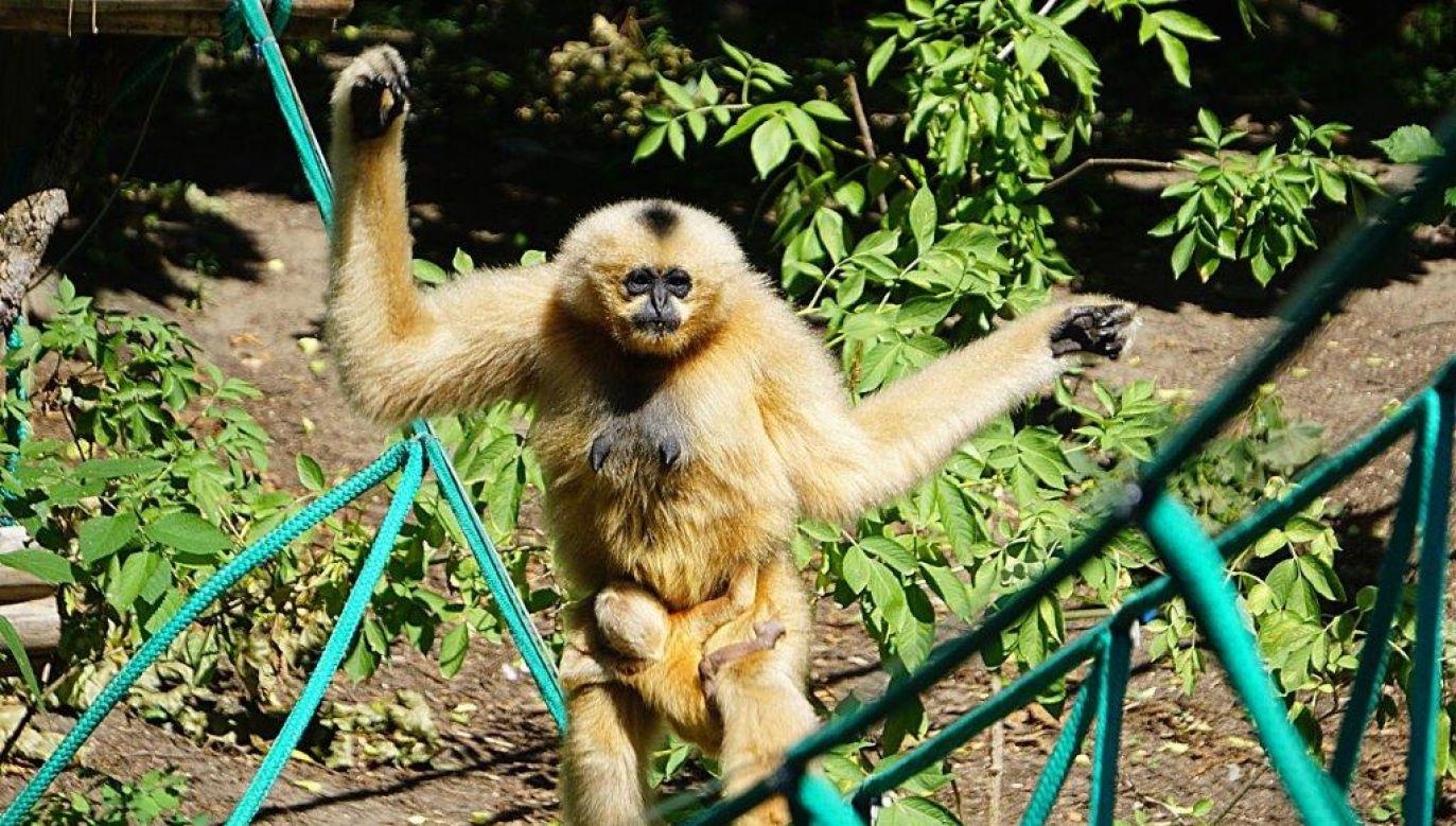 We wrocławskim zoo urodził się gibon białopoliczkowy. Na wolności żyje zaledwie około tysiąca osobników (fot. mat pras.)