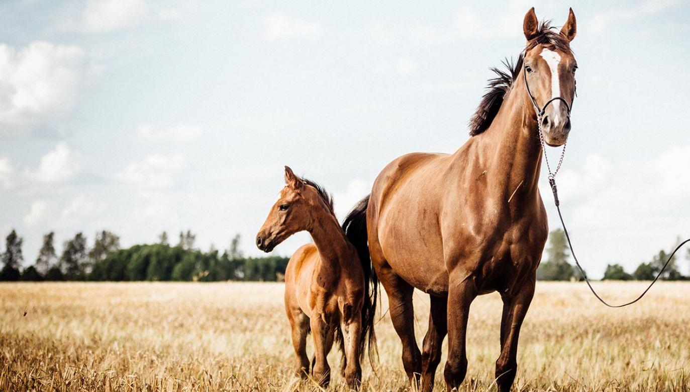Koń porusza nasze zmysły, daje niezwykłe poczucie panowania, dosłownie przeorał naszą cywilizację i zmienił bieg historii (fot. Shutterstock/Inesmeierfotografie)