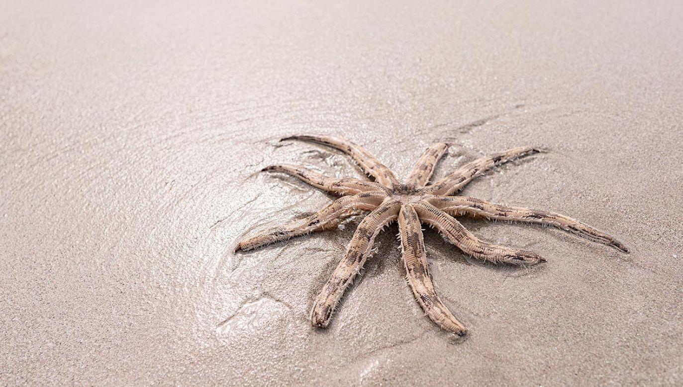 Rodzina znalazła na plaży rzadki gatunek rozgwiazdy (fot. Shutterstock/F16-ISO100)