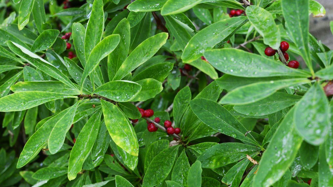 Owoce wawrzynka wilczełyko (fot. Shutterstock/weha)