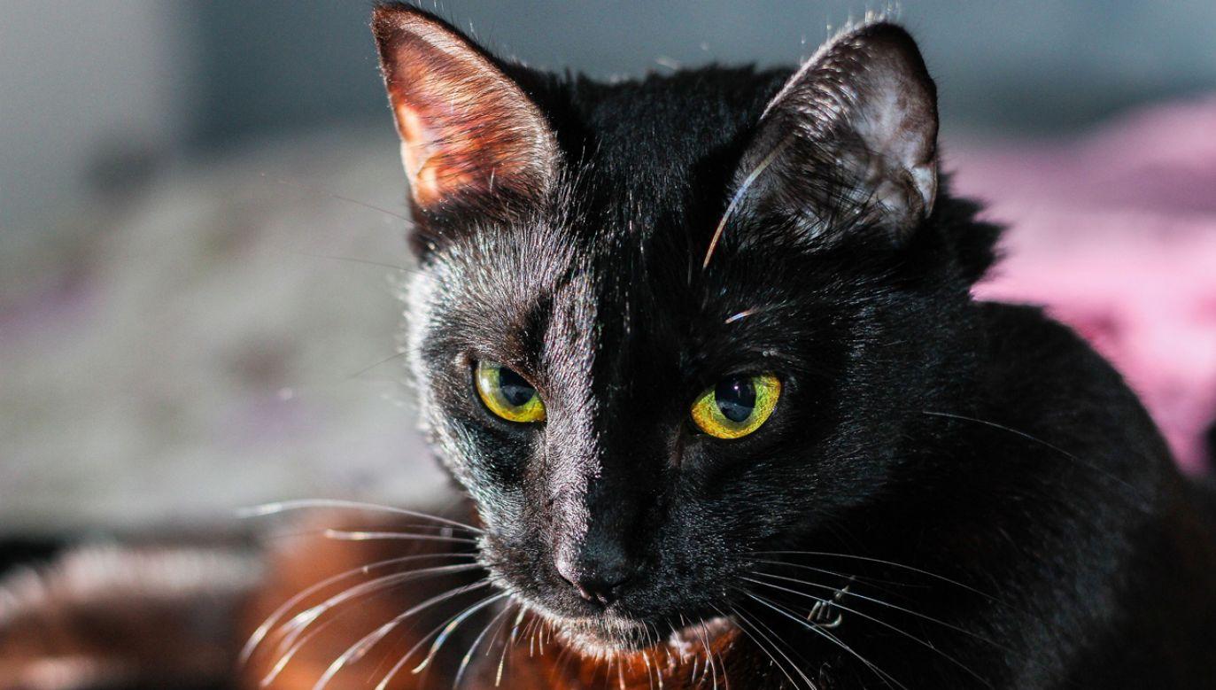17 listopada obchodzony jest na całym świecie jako Dzień Czarnego Kota (fot. Pixabay/Pexels)