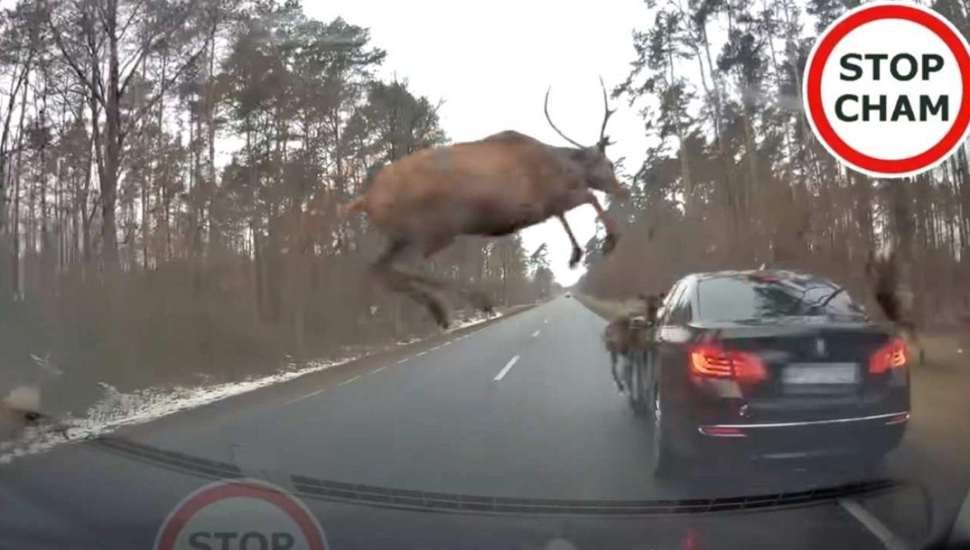 Nie wszystkie jelenie przeskoczyły bezkolizyjnie przez samochód (fot. YouTube/ STOP CHAM)