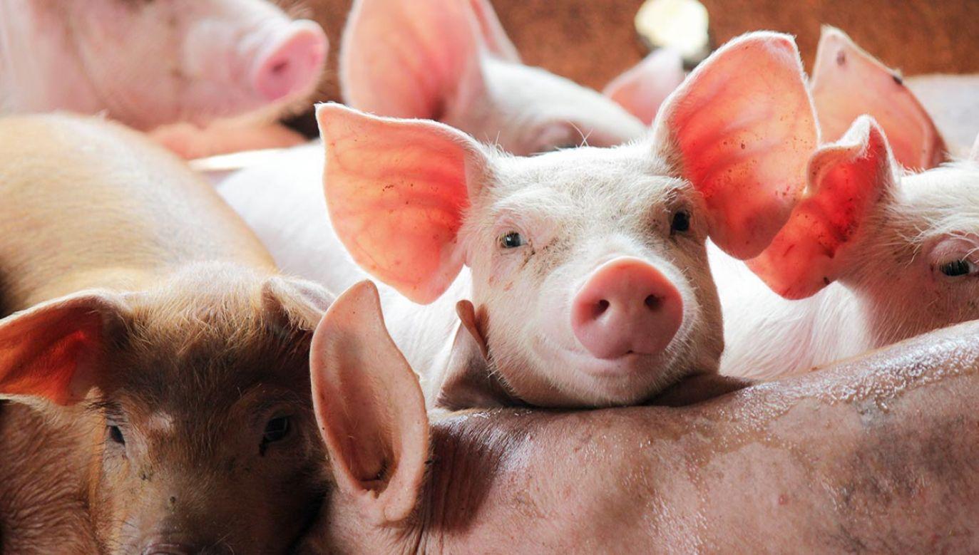 Chiny są największym producentem, jak i konsumentem wieprzowiny na świecie (fot. Shutterstock/Mr.Samarn Plubkilang)