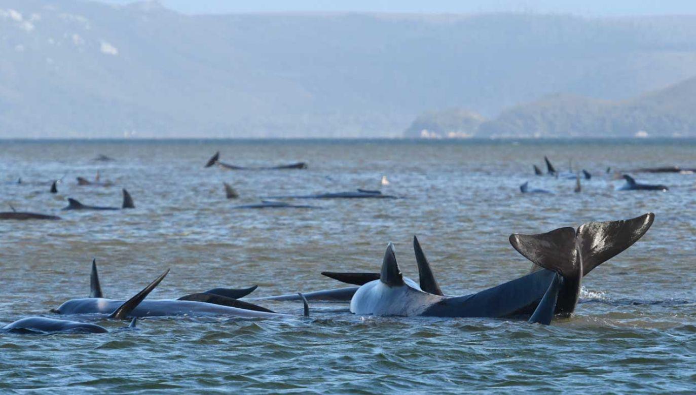 Grindwale, ssaki z rodziny delfinowatych, mierzą do 7 metrów długości i ważące do 3 ton (fot. PAP/EPA/Brodie Weeding)