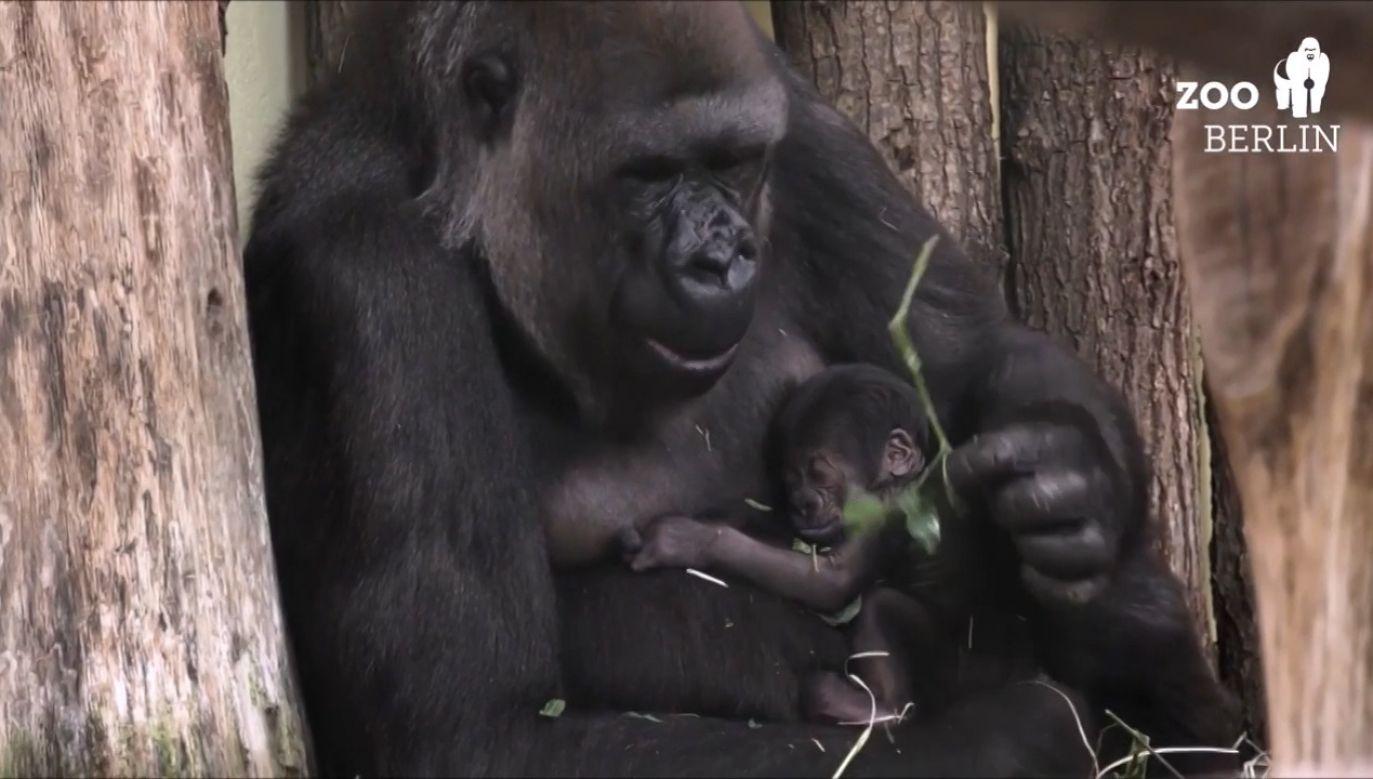 Gorylątko wtulone w mamę (fot. EBU/Zoo Berlin)