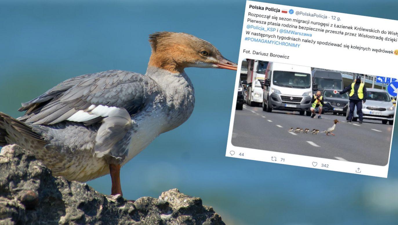 Pierwsza ptasia rodzina bezpiecznie przeszła przez Wisłostradę (fot. Shutterstock, tt/@PolskaPolicja)