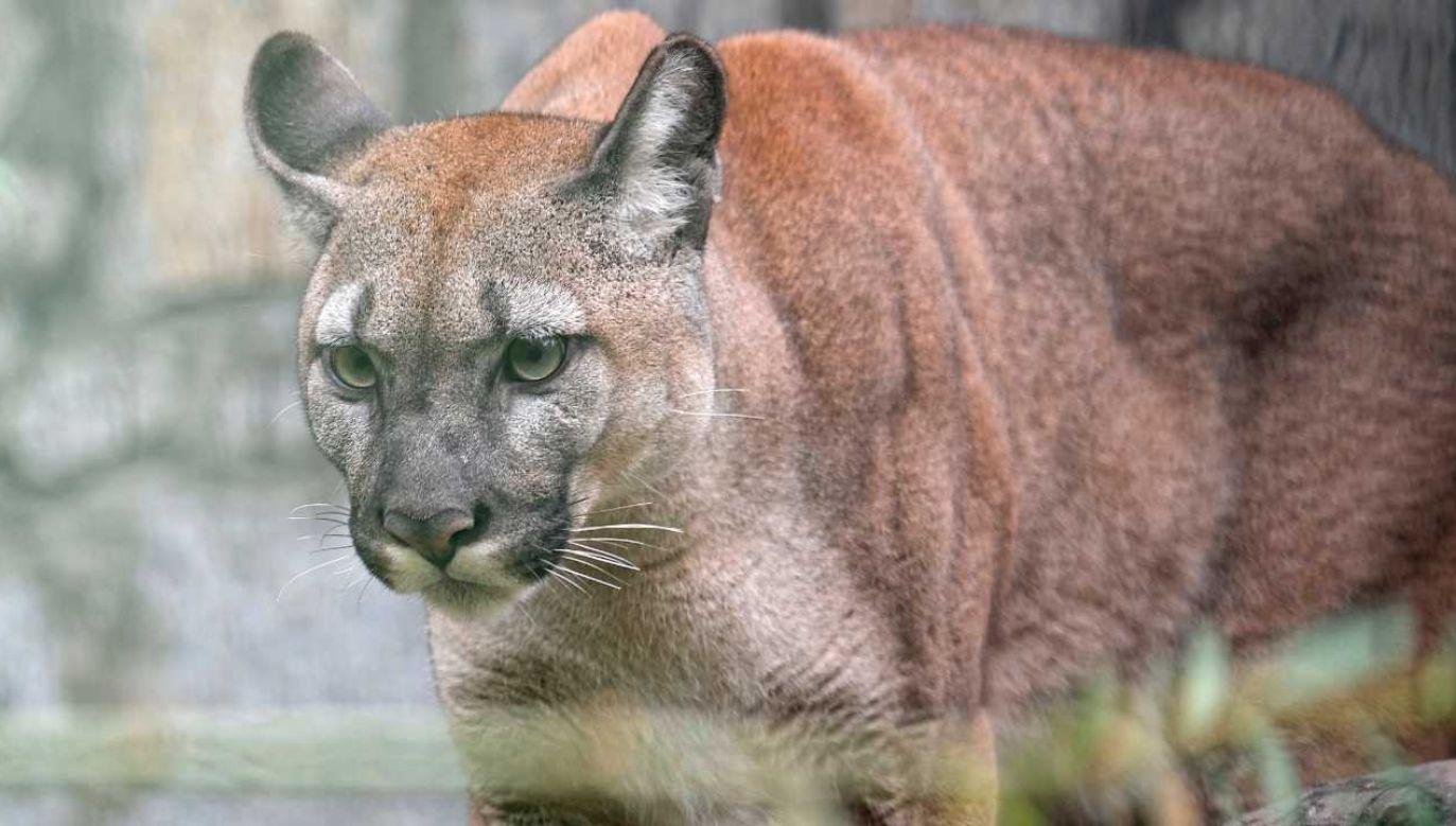 Puma Nubia trafiła do zoo w Chorzowie (fot. PAP/Andrzej Grygiel)