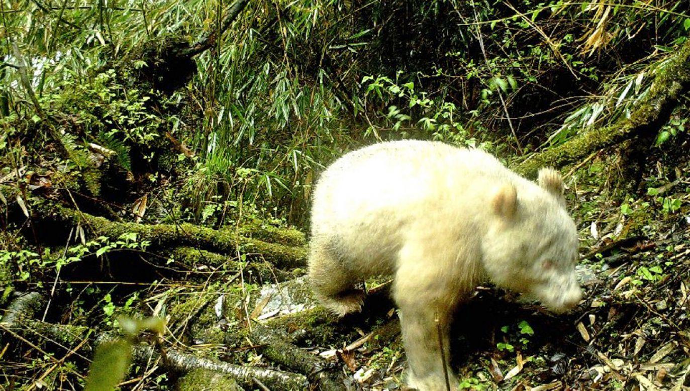 Wyjątkową pandę namierzyła fotopułapka na wysokości około 2 tys. metrów n.p.m (fot. TT/Xinhua)