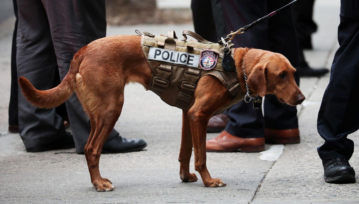 Policyjne psy w Teksasie nie będą usypiane na emeryturze. (fot. Reuters/Mike Segar)