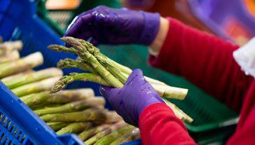 Polacy o warunkach pracy na jednej z największych farm szparagów (fot. Daniel Kopatsch/Getty Images)