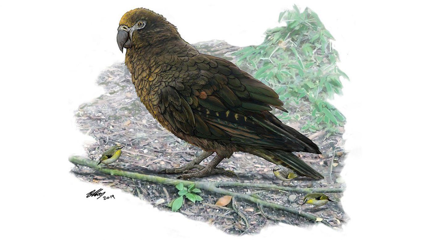 Wielki ptak ważył około 7 kilogramów  (fot. PAP/EPA/DR BRIAN CHOO / FLINDERS UNIVERSITY: CANTERBURY MUSEUM / HANDOUT)
