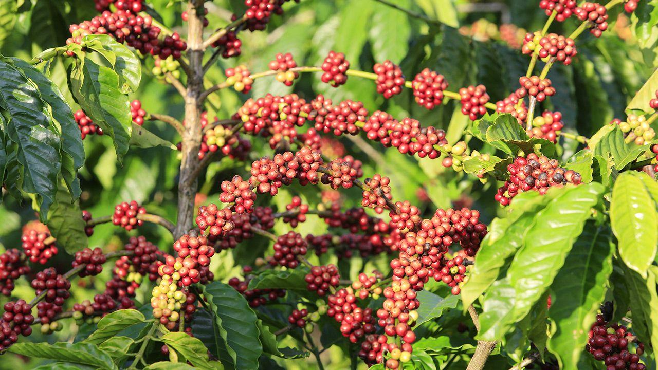 Istnieją 124 gatunki kawy, ale rynek kawy opiera się obecnie tylko na dwóch (fot. Shutterstock)
