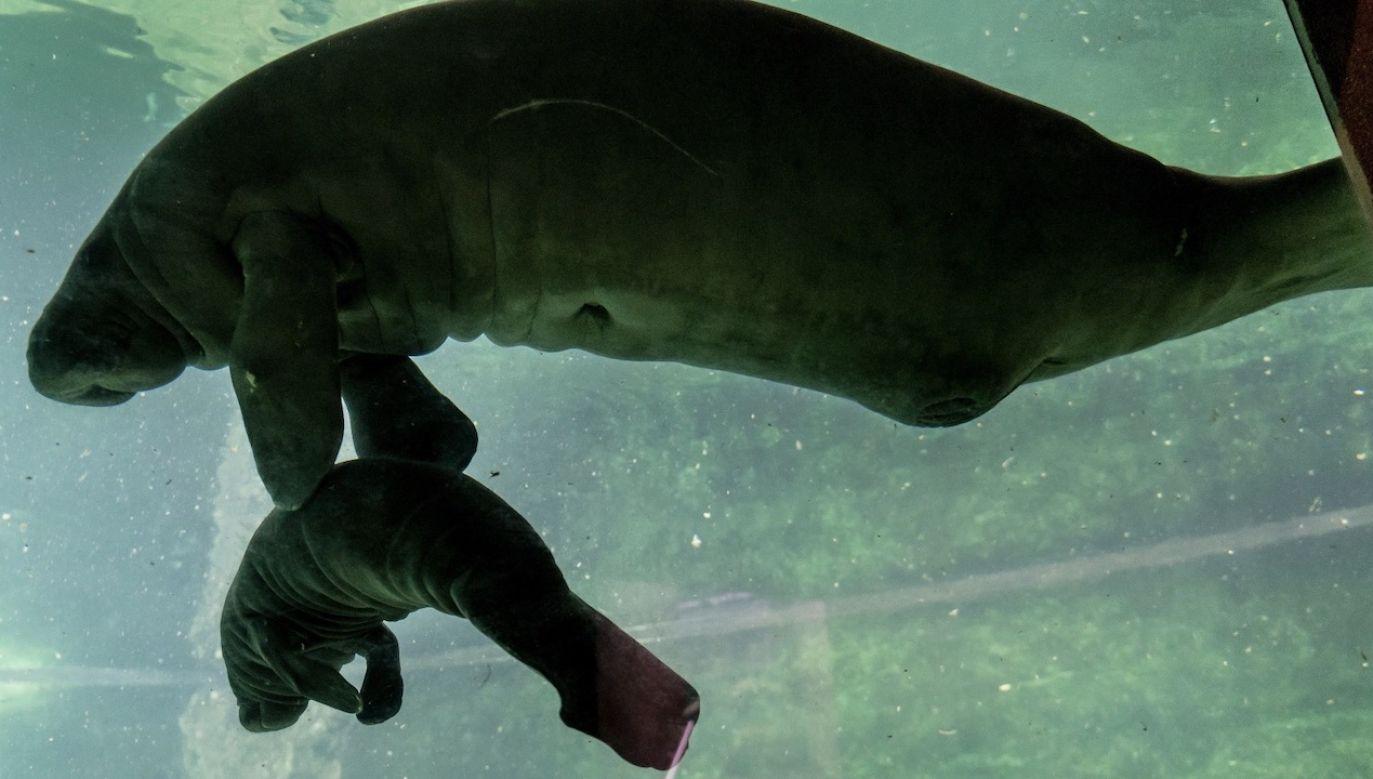 Nowonarodzony manat to potomek samicy, która trafiła do wrocławskiego zoo z Singapuru (fot. PAP/Maciej Kulczyński)
