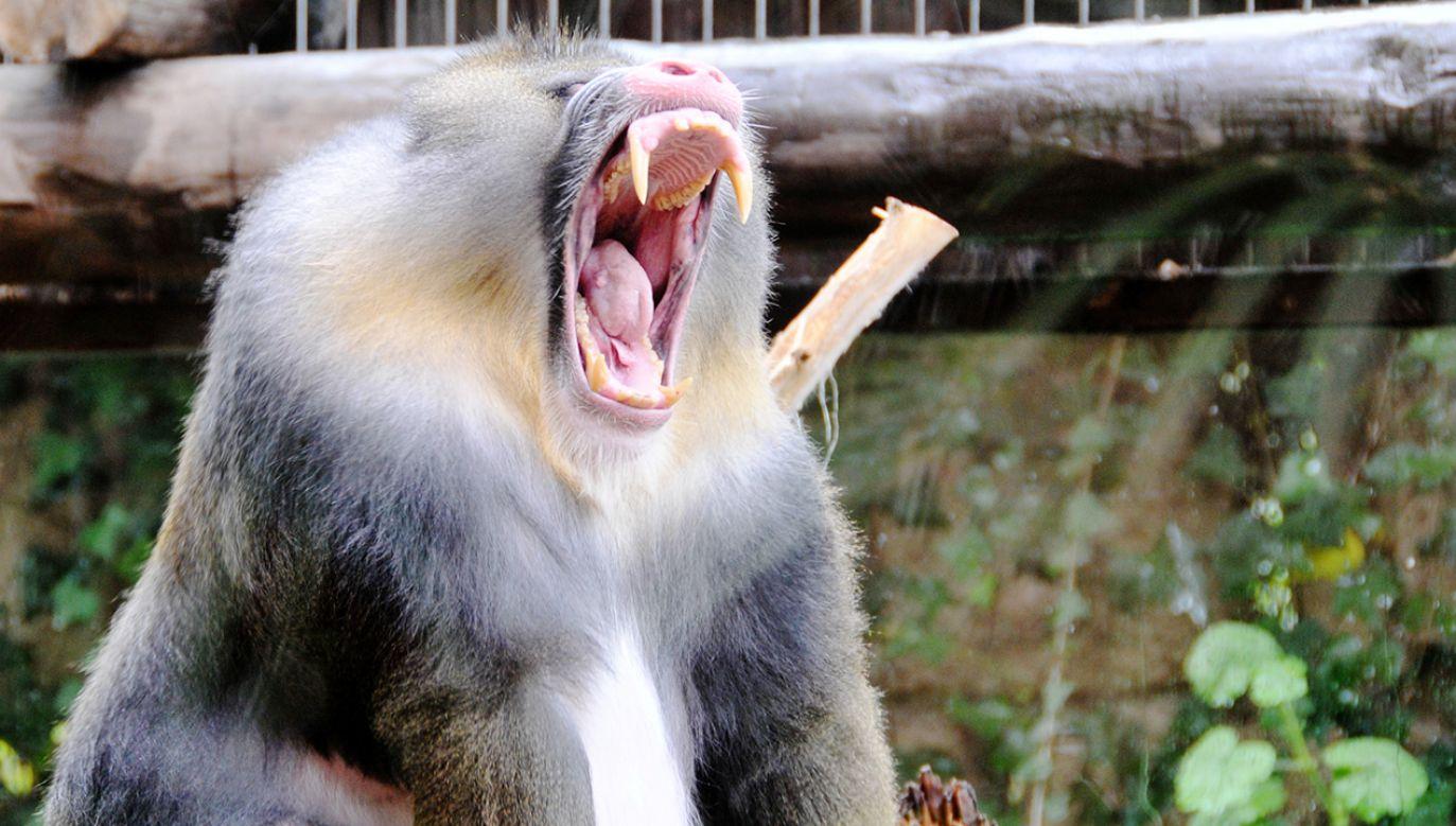 Eksperyment opierał się na wszczepieniu do małpich zarodków komórek człowieka (fot. Shutterstock)