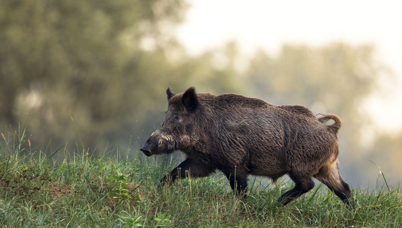 """Ardanowski zapewnia, że nikt nie mówi """"o wybiciu wszystkich dzików w Polsce"""" (fot. Shutterstock/Budimir Jevtic)"""