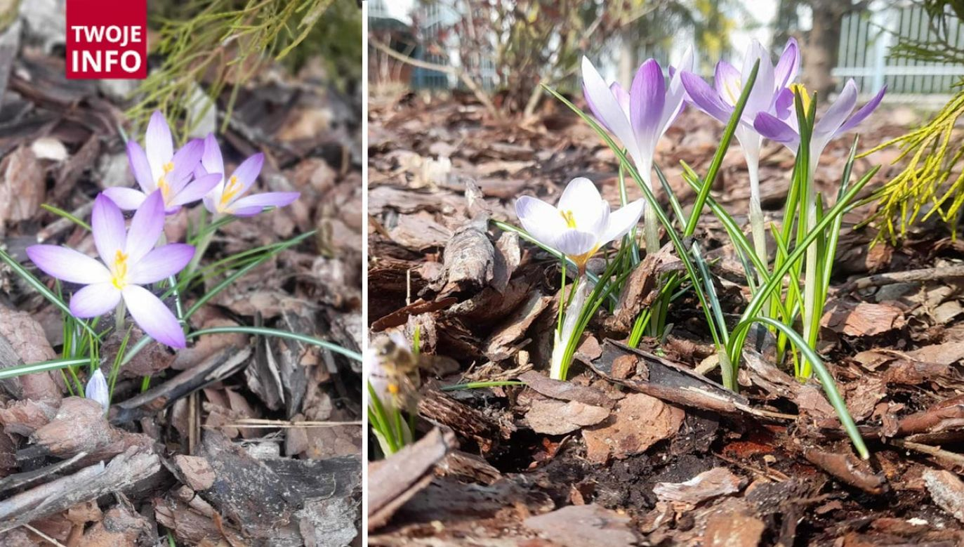 Kwitnące krokusy z ogródka pani Anity (fot. Twoje Info)