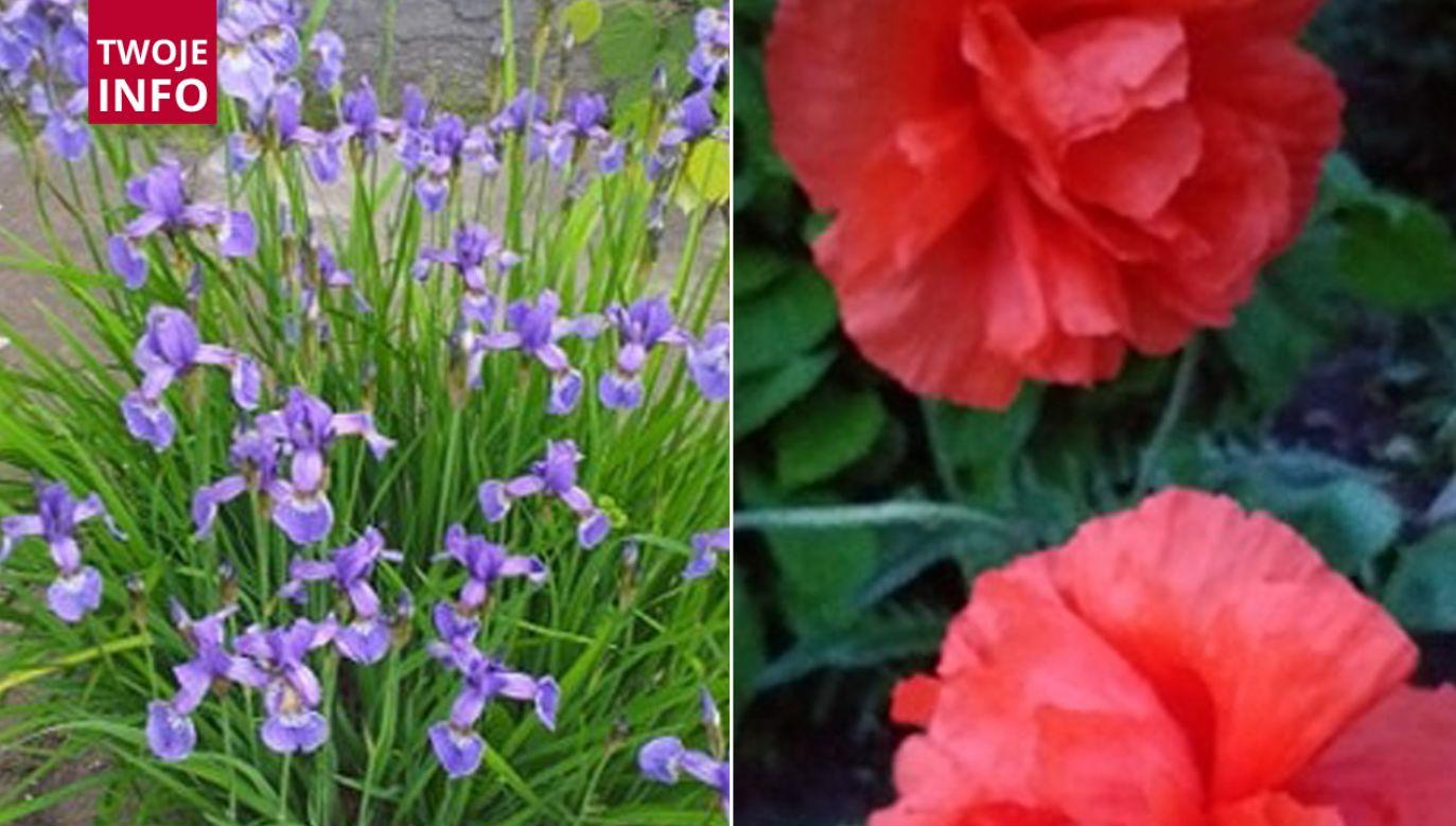 Kwitnące kwiaty są ozdobą ogrodów (fot. Twoje Info)
