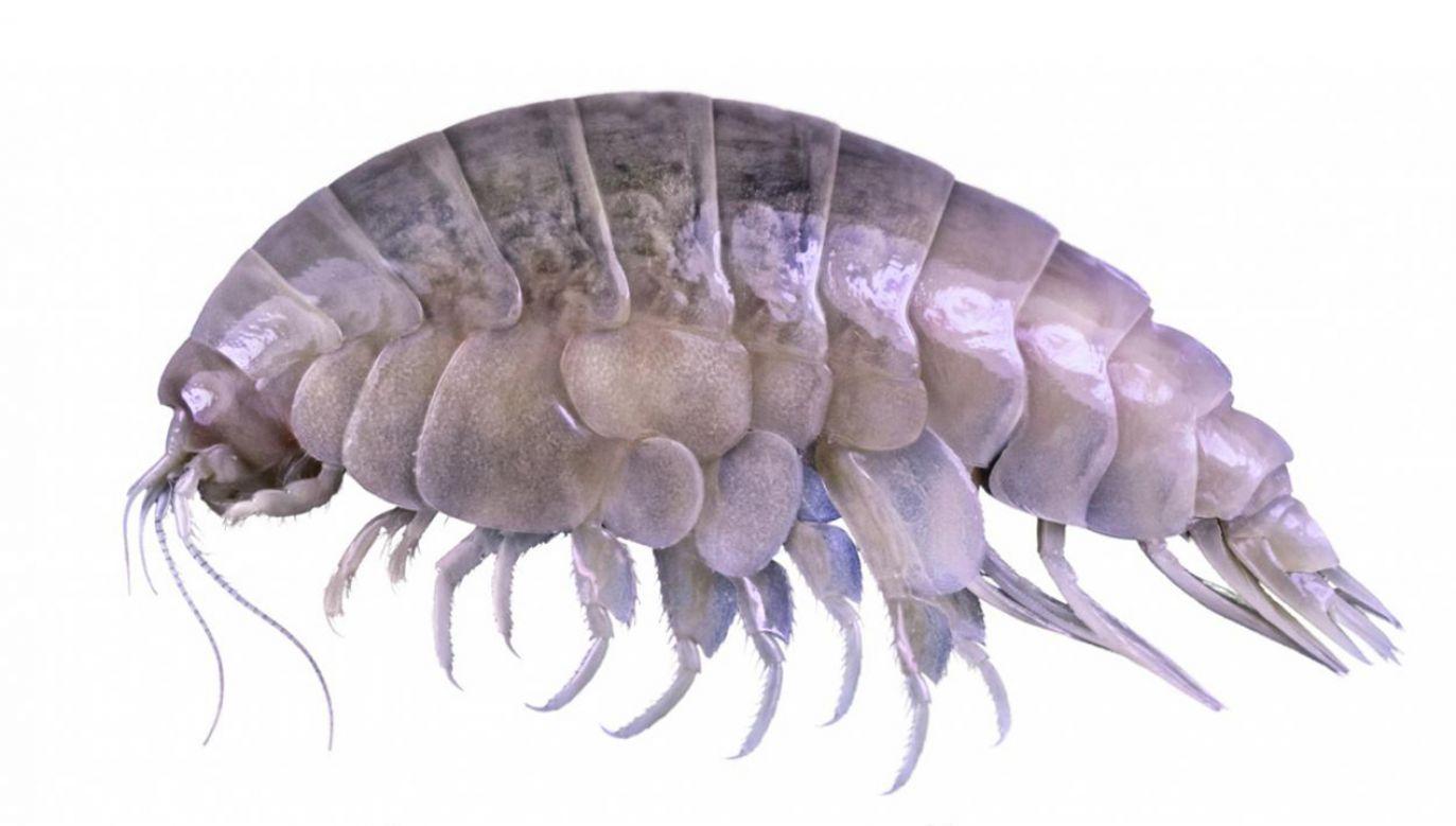 Eurythenes plasticus żyje w Rowie Mariańskim niedaleko Filipin (fot. wwf.fr)