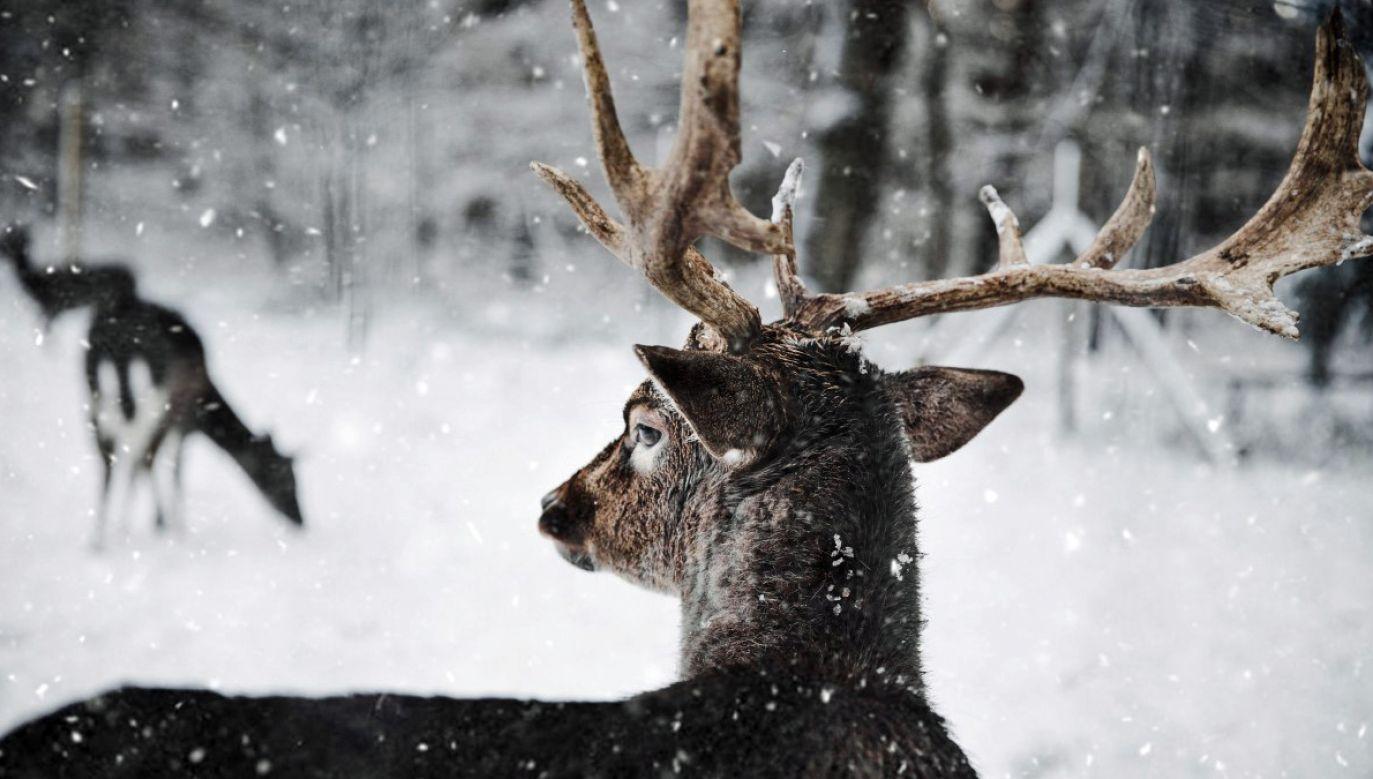 Przy dużej pokrywie śnieżnej zwierzętom brakuje pożywienia (fot. pxhere.com)