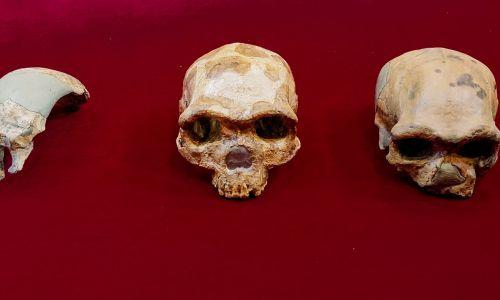 Porównania między czaszką Peking Man, Maba, Jinniushan, Dali i Harbin - czyli nowo odkrytego gatunku Człowieka-Smoka (od lewej do prawej). Fot. Kai Geng via Muzeum Historii Naturalnej w Londynie