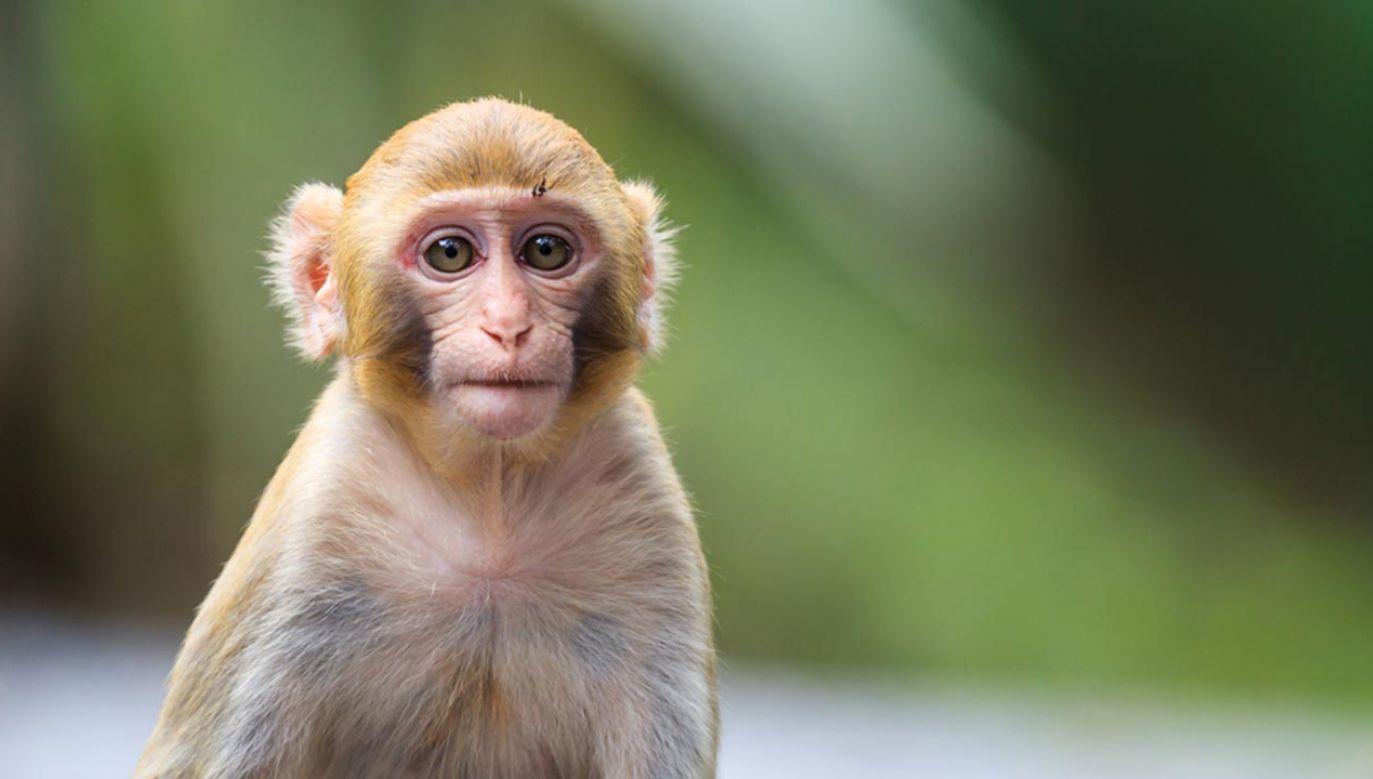 Małpka skakała po dachu w Zgorzelcu (fot. Shutterstock/oolulu)