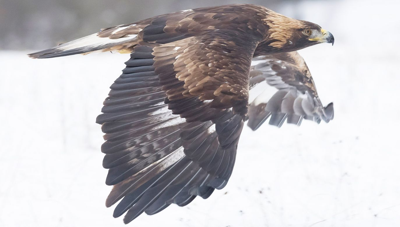 Dokładny wiek orła – 34 lata, 8 miesięcy i 28 dni – ustalono na podstawie informacji na obrączce (fot. Shutterstock/milan noga, zdjęcie ilustracyjne)