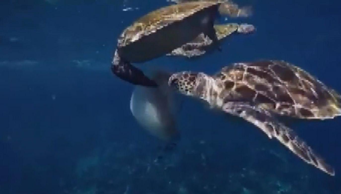 Nurkowie spotkali trzy okazy żółwia morskiego z gatunku zagrożonego wyginięciem (fot. TRTRT - TURKIYE RADYO-TELEVIZYON KURUMU)