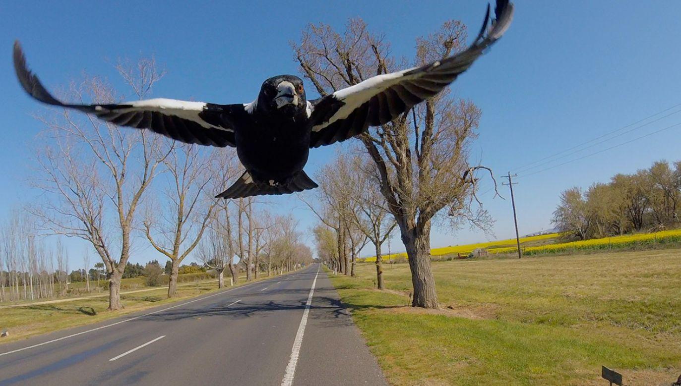 To nie pierwszy atak ptaka w tej okolicy (fot. Shutterstock/GPLama)