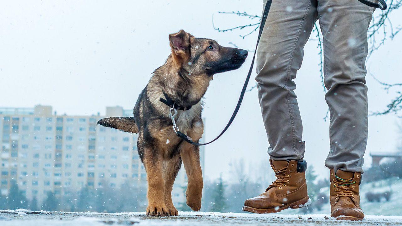 Pies nie jest w stanie ochronić się przed solą i chemią (fot. Shutterstock/DanteVisual)