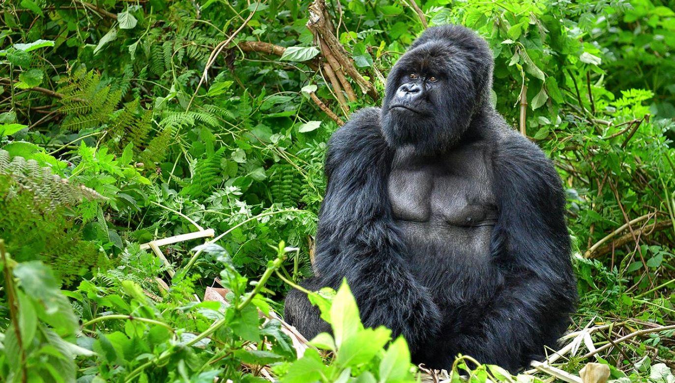Goryle to ssaki krytycznie zagrożone wyginięciem (fot. Shutterstock/Onyx9)