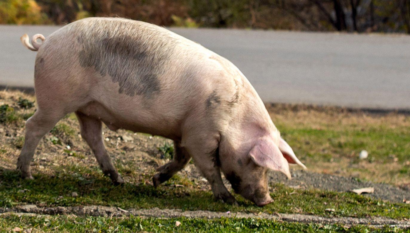 Lokalne media podają, że po pokazie zwierzę miało trafić do rzeźni (fot. Dmitry Feoktistov\TASS via Getty Images, zdjęcie ilustracyjne)