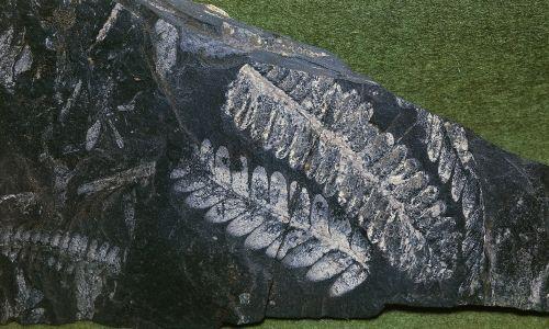Kopalny odcisk paproci Pecopteris sp. Karbon we Francji. Museo Di Storia Naturale (Muzeum Nauki) w Weronie. Fot. DeAgostini / Getty Images