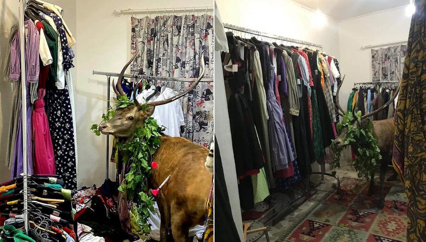 Lokalna policja złapała jelenia, który wszedł do sklepu odzieżowego w miejscowości Cortina (fot. FB/Gianpaolo Bottacin assessore regionale del Veneto)