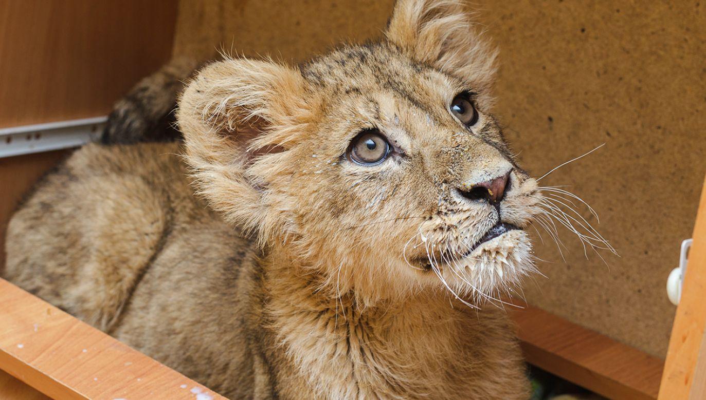 Karmienie lwiątek w ogrodzie zoologicznym wymaga dużej staranności (fot. Shutterstock)